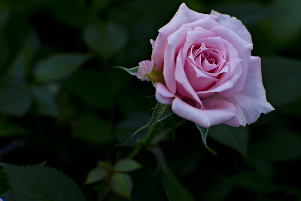 struccante acqua di rose